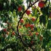 Vanilla Peach Cobbler