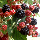 Black Raspberry Custard Pie