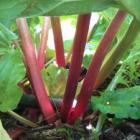 Rhubarb Windsor