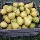 Mango Pear Crisp