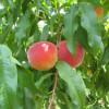Peach Tarte Tatin